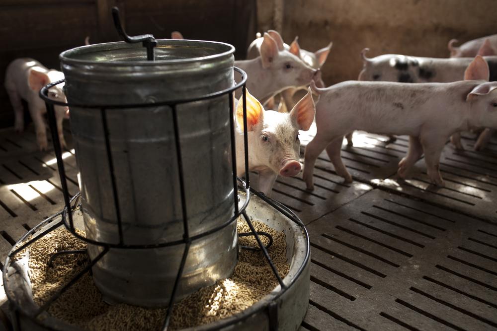 Pigs eating medicated food on farm