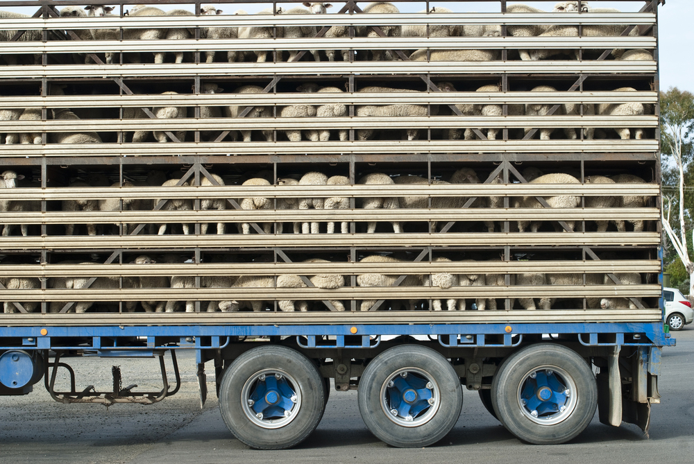 Sheep squashed in lorry on road