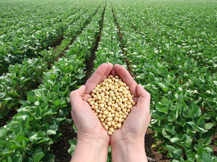 Hands holding soya beans over a soya field of crops